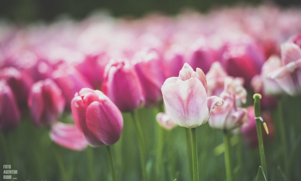 Tulpen, fast aus Amsterdam